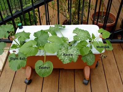 Squash varieties in the Earthbox