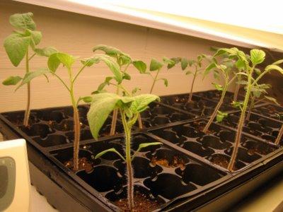 Tomato Seedlings at 18 days