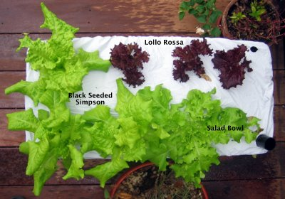 Earthbox Lettuce