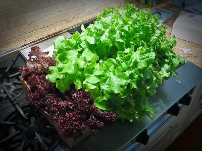 Final Earthbox Lettuce Harvest