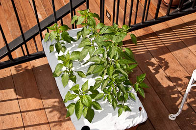 Earthbox Peppers