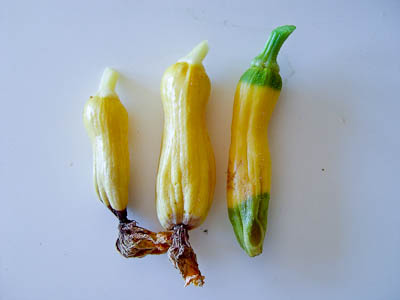Earthbox Unpollinated Squash