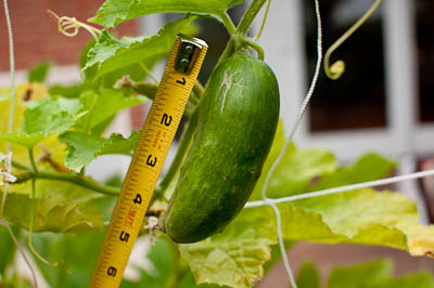 Earthbox Cucumber