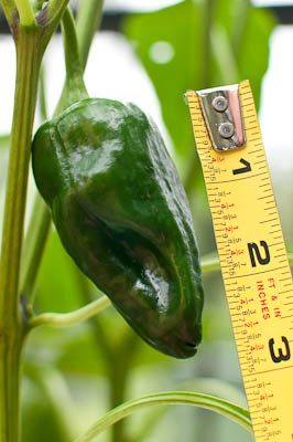 Earthbox Poblano Pepper