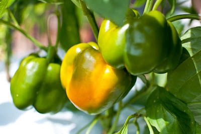 Earthbox Orange Bell Pepper