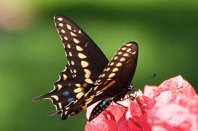 Swallowtail Butterfly on Bougainvillea