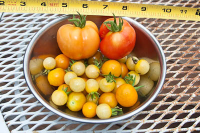 Bush Early Girl, Sungold, White Currant Tomatoes