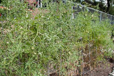 Austin Summer Tomato Plants