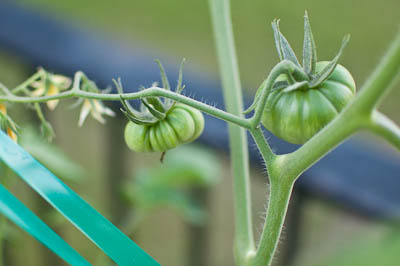 Earthbox Tomato