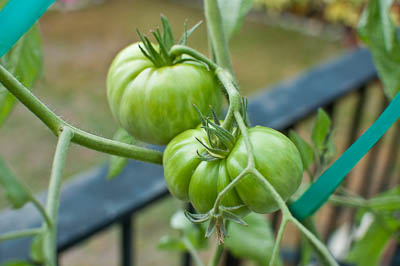 Earthbox Tomatoes