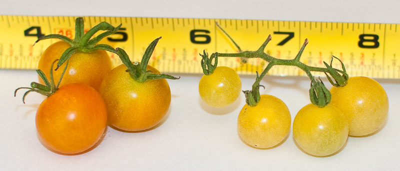 Sungold and White Currant Tomatoes